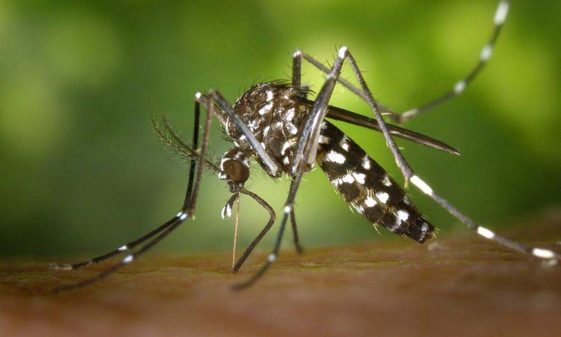 tiger-mosquito-1